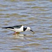 Pied stilt. Catching crabs. Little Waihi, June 2012. Image © Raewyn Adams by Raewyn Adams