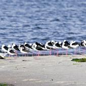 Pied stilt. Roosting at high tide. Katikati, July 2012. Image © Raewyn Adams by Raewyn Adams