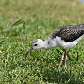 Pied stilt. Fledgling feeding on a worm. Potts Road near Whitford, November 2016. Image © Marie-Louise Myburgh by Marie-Louise Myburgh