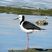 Pied stilt. Adult resting on one leg. Pahi,  Kaipara Harbour, August 2012. Image © Thomas Musson by Thomas Musson