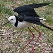 Pied stilt. Adult protecting nest. Nelson sewage ponds, April 2009. Image © Rebecca Bowater by Rebecca Bowater  FPSNZ www.floraandfauna.co.nz