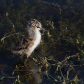 Pied stilt. Young chick. Melbourne, Victoria, Australia, December 2009. Image © Sonja Ross by Sonja Ross