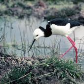 Pied stilt. Adult at nest with eggs. , November 1974. Image © Department of Conservation by Barry Harcourt Courtesy of Department of Conservation