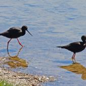 Black stilt. Pair. Ben Avon wetlands, December 2010. Image © Duncan Watson by Duncan Watson