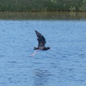 Black stilt. Hybrid x pied stilt in flight. Miranda, January 2014. Image © Alan Tennyson by Alan Tennyson