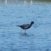 Black stilt. Hydrid x pied stilt. Miranda, January 2014. Image © Alan Tennyson by Alan Tennyson