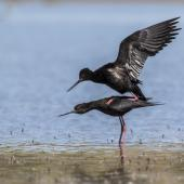 Black stilt. Adult pair mating. Near Tekapo, December 2017. Image © Kathy Reid by Kathy Reid kathyreidphotography.com