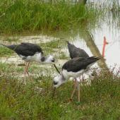 Black stilt. Juveniles feeding. Near Twizel, February 2006. Image © Josie Galbraith by Josie Galbraith