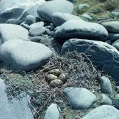 Black stilt. Nest with four eggs. Cass River, McKenzie basin, December 1982. Image © Department of Conservation (image ref: 10037193) by Rod Morris, Department of Conservation Courtesy of Department of Conservation