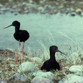 Black stilt. Pair at nest. Cass River, McKenzie basin, October 1977. Image © Department of Conservation (image ref: 10028204) by Dick Veitch, Department of Conservation Courtesy of Department of Conservation