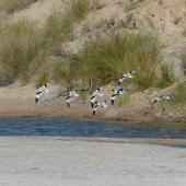 Red-necked avocet. Adults in flight. Cooper Creek, South Australia, October 2013. Image © Alan Tennyson by Alan Tennyson