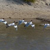 Red-necked avocet. Adults landing. Cooper Creek, South Australia, October 2013. Image © Alan Tennyson by Alan Tennyson