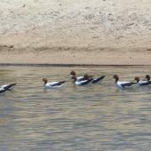 Red-necked avocet. Adults. Cooper Creek, South Australia, October 2013. Image © Alan Tennyson by Alan Tennyson