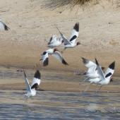 Red-necked avocet. Adults taking flight. Cooper Creek, South Australia, October 2013. Image © Alan Tennyson by Alan Tennyson