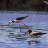 Red-necked avocet. Adult with pied stilt behind. Kedron Brook Wetlands, January 2018. Image © Oscar Thomas by Oscar Thomas