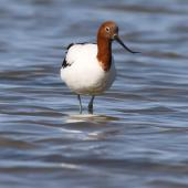 Red-necked avocet. Adult. Goolwa, South Australia, October 2015. Image © John Fennell by John Fennell