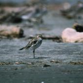 Pacific golden plover. Adult soon after its return to New Zealand. Manawatu River estuary, October 1992. Image © Peter Reese by Peter Reese