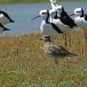 Pacific golden plover. Non-breeding adult with pied stilts. Manawatu River estuary, January 2013. Image © Roger Smith by Roger Smith