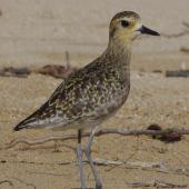 Pacific golden plover. Adult in non-breeding plumage. South-east Queensland, December 2013. Image © Dorothy Pashniak by Dorothy Pashniak