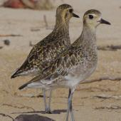 Pacific golden plover. Adults in non-breeding plumage. South-east Queensland, December 2013. Image © Dorothy Pashniak by Dorothy Pashniak