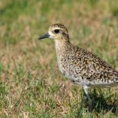 Pacific golden plover. Nonbreeding adult. Airport, Lord Howe Island, February 2017. Image © Mark Lethlean by Mark Lethlean