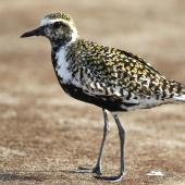 Pacific golden plover. Adult in breeding plumage. Hawai`i - Island of Kaua`i, April 2011. Image © Jim Denny by Jim Denny http://www.kauaibirds.comhttp://www.flickr.com/photos/hawaiibirds/