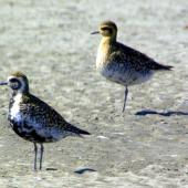 Pacific golden plover. Adult in partial breeding plumage. Manawatu River estuary, March 2008. Image © Alex Scott by Alex Scott