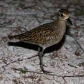 Pacific golden plover. Non-breeding adult. Rawaki, Phoenix Islands, June 2008. Image © Mike Thorsen by Mike Thorsen