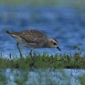 American golden plover. Non-breeding plumage. Kaituna, Maketu, February 2011. Image © Tim Barnard by Tim Barnard