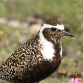 American golden plover. Adult in breeding plumage. Seward Peninsula, Alaska, June 2009. Image © Craig Steed by Craig Steed