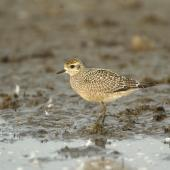 American golden plover. Immature. Illinois, October 2007. Image © Jim Denny by Jim Denny http://www.kauaibirds.comhttp://www.flickr.com/photos/hawaiibirds/