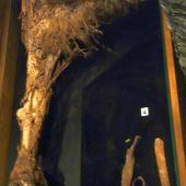 Upland moa. Mummified leg in Otago Museum OM AV7474. near Waikaia, Southland, December 1893. Image © Alan Tennyson & Otago Museum by Alan Tennyson