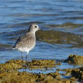 Grey plover. Nonbreeding adult. Coffin Bay NP, SA, Australia, March 2015. Image © Mark Lethlean by Mark Lethlean