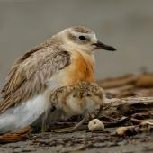 New Zealand dotterel. Male brooding 4-day-old chick. Waikanae River estuary, November 2018. Image © Roger Smith by Roger Smith