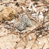 Red-capped plover. Nest with two eggs. Point Leo, Victoria, Australia, January 2019. Image © Mark Lethlean by Mark Lethlean