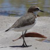 Red-capped plover. Adult female. South-east Queensland, Australia, December 2013. Image © Dorothy Pashniak by Dorothy Pashniak
