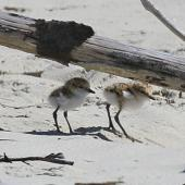 Red-capped plover. Two young chicks under branch on beach. Cape Tribulation, Queensland, Australia, August 2015. Image © Duncan Watson by Duncan Watson