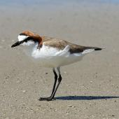 Red-capped plover. Adult on beach. Cape Tribulation, Queensland, Australia, August 2015. Image © Duncan Watson by Duncan Watson