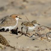 Red-capped plover. Adult female and chick. Point Leo, Victoria,  Australia, February 2018. Image © Mark Lethlean by Mark Lethlean
