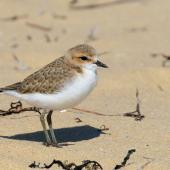 Red-capped plover. Newly fledged juvenile. Point Leo, Victoria,  Australia, November 2017. Image © Mark Lethlean by Mark Lethlean