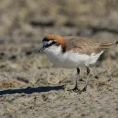 Red-capped plover. Adult male. Cable Beach, Broome, Western Australia, August 2014. Image © Roger Smith by Roger Smith