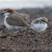 Red-capped plover. Adult male with chick. Lake Tinaroo, Queensland, December 2017. Image © Imogen Warren by Imogen Warren