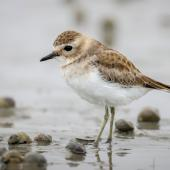 Banded dotterel. Juvenile. Opawa River,  Blenheim, February 2020. Image © Derek Templeton by Derek Templeton take.aim.kiwi@gmail.com
