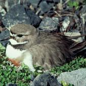 Banded dotterel. Adult male on nest. Rakaia River, October 1977. Image © Department of Conservation by Dick Veitch Courtesy of Department of Conservation