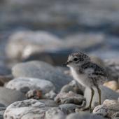 Banded dotterel. Chick. Clutha River,  Bendigo, November 2011. Image © Craig McKenzie by Craig McKenzie