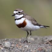 Banded dotterel. Adult male in breeding plumage. Wanganui, October 2012. Image © Ormond Torr by Ormond Torr