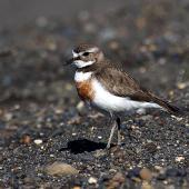 Banded dotterel. Adult female in breeding plumage. Wanganui, November 2012. Image © Ormond Torr by Ormond Torr