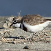 Banded dotterel. Adult male foraging. Motueka Sandspit, August 2013. Image © Rob Lynch by Rob Lynch