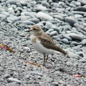 Banded dotterel. Juvenile in profile. Kaikoura Peninsula, February 2013. Image © Alan Tennyson by Alan Tennyson