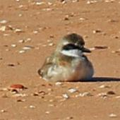 Lesser sand plover. Adult coming out of breeding plumage. Broome, Western Australia, September 2015. Image © Duncan Watson by Duncan Watson